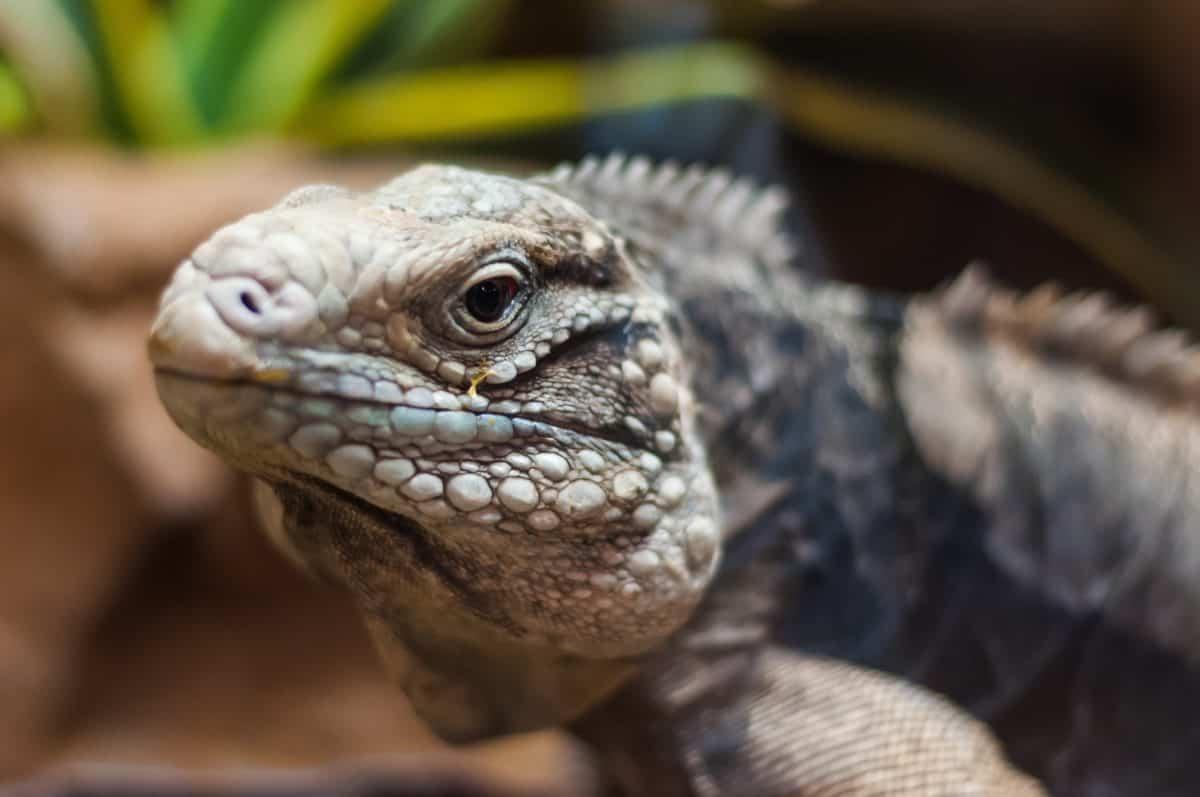 dyreliv, øgle, portrett, reptile, natur, dyr, iguana