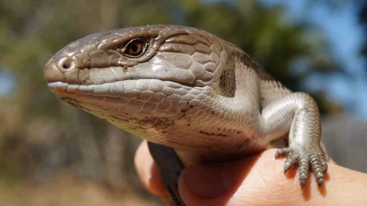 Reptile, hud, dagslys, dyr, natur, firben, dyreliv, slange