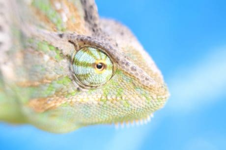 reptile, detail, head, lizard, nature, animal, wildlife, chameleon, macro