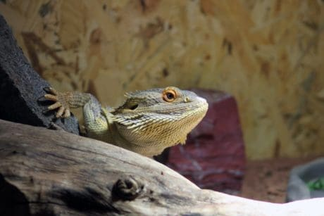 lizard, reptile, wildlife, nature, iguana, dragon, wild, eye