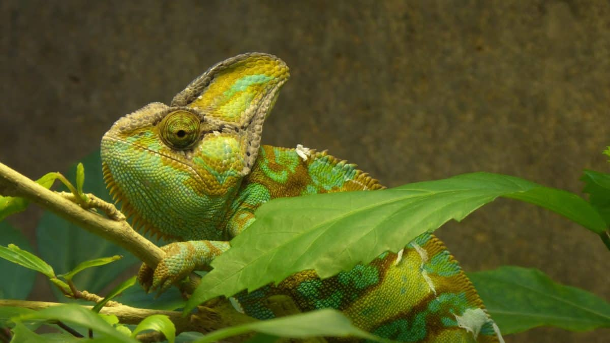 Tier-und Pflanzenwelt, Echse, Reptil, Tier, Haustier, Natur, grünes Chamäleon