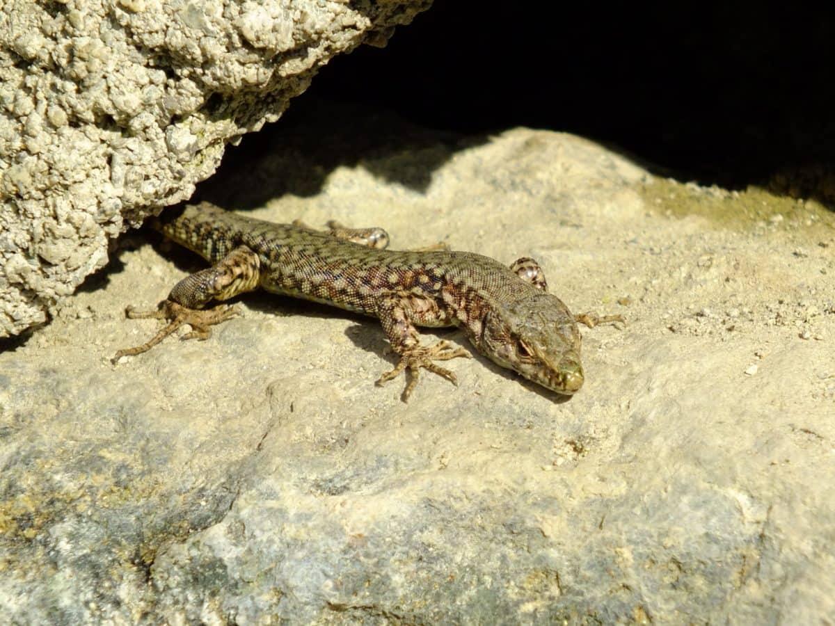 Lagarto, reptil, camuflaje, piedra, naturaleza, fauna, salvaje, animal, al aire libre