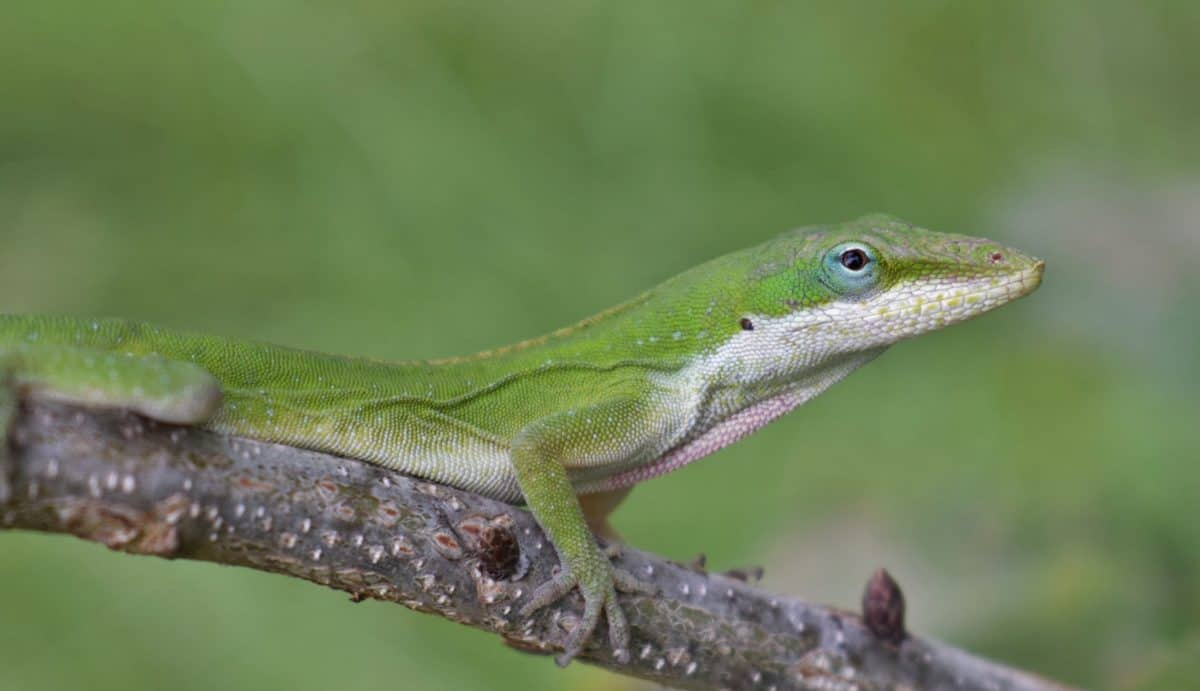 lizard, reptile, wildlife, camouflage, nature, eye, wild, animal
