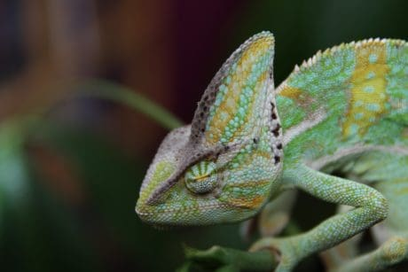 camouflage, nature, animal, reptile, chameleon, lizard, wildlife
