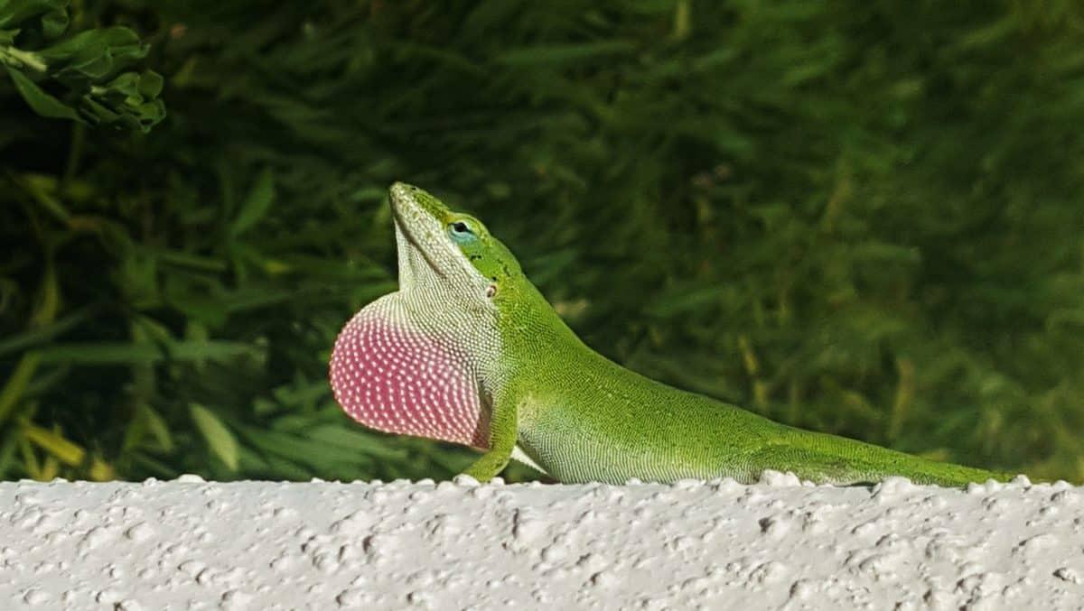 fauna, naturaleza, reptil, lagarto exótico, ojo, camuflaje de animales, al aire libre,