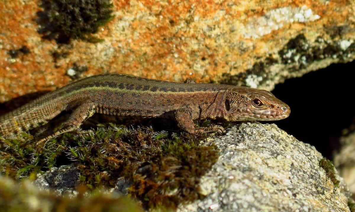 Reptil, Echse, Tier, Natur, Tierwelt, Stein