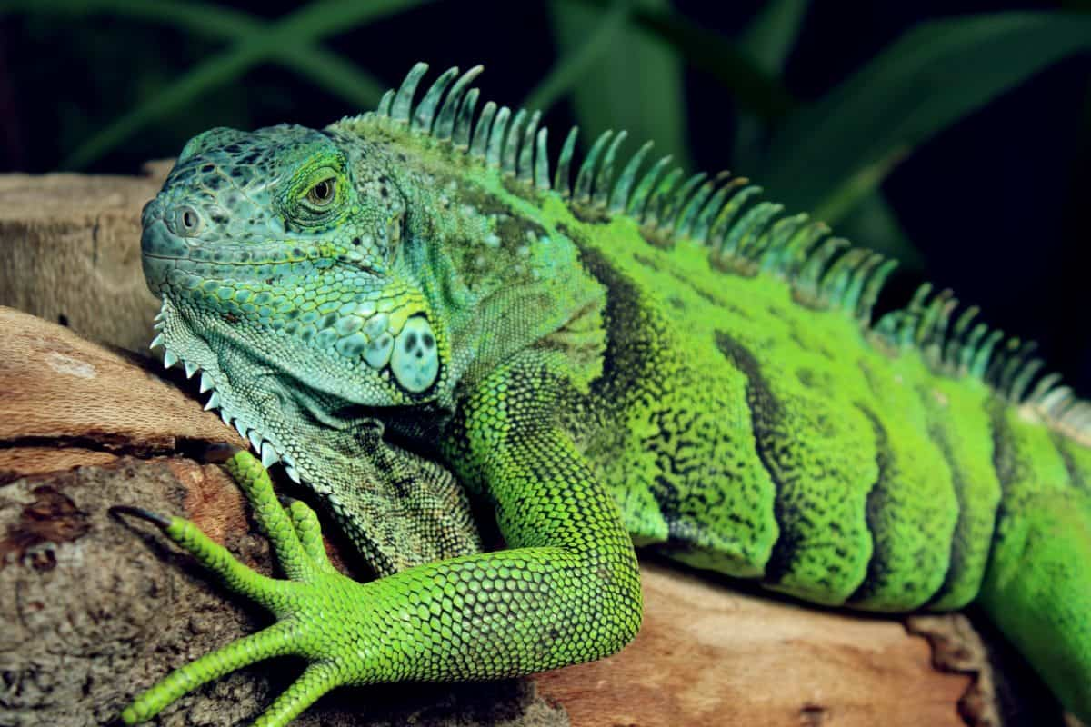 nature, camouflage, wildlife, animal, reptile, lizard, iguana, dragon