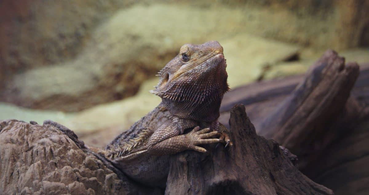 Tier-und Pflanzenwelt, Echse, Reptil, Wild, Leguan, Drache, Tier, im freien