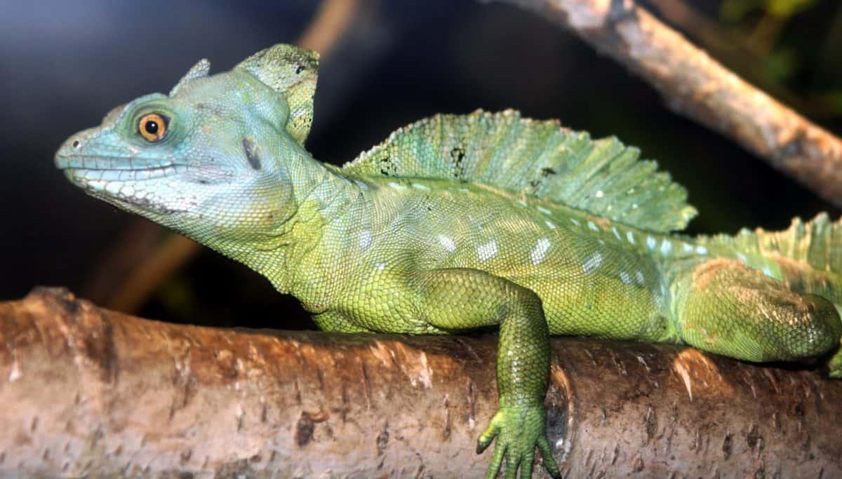 wildlife, exoticlizard, chameleon, nature, vertebrate, camouflage, reptile