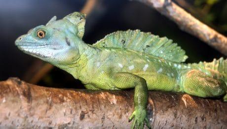 vida silvestre exoticlizard, camaleón, naturaleza, vertebrado, camuflaje, reptil