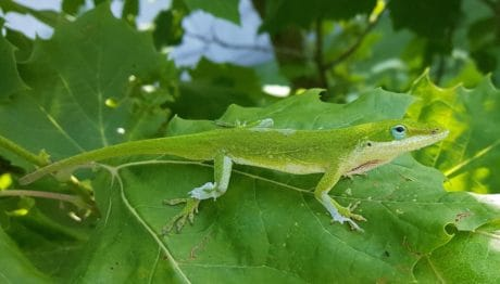 leaf, lizard, camouflage, nature, reptile, wildlife, green leaf, animal, tree