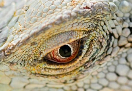 macro, detail, lizard, wildlife, reptile, nature, eye, animal