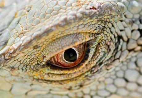 macro, détail, lézard, animaux sauvages, reptile, nature, oeil, animal
