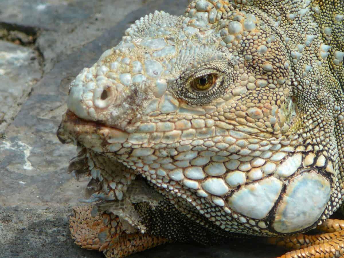 rettile, fauna, natura, esotico, lucertola, animale, iguana