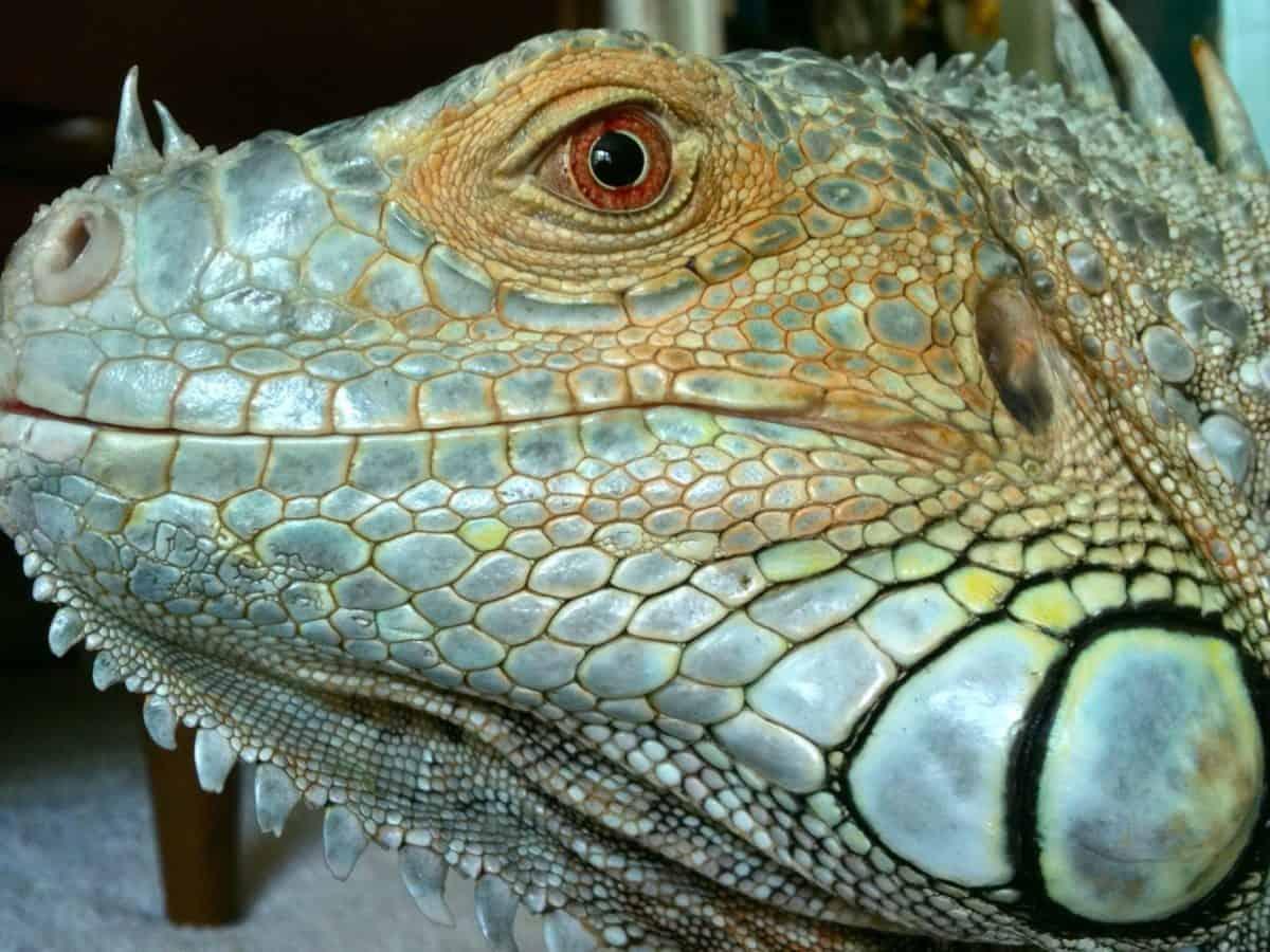 reptile, animal, lézard exotique, macro, nature, vertébré, exotique, faune
