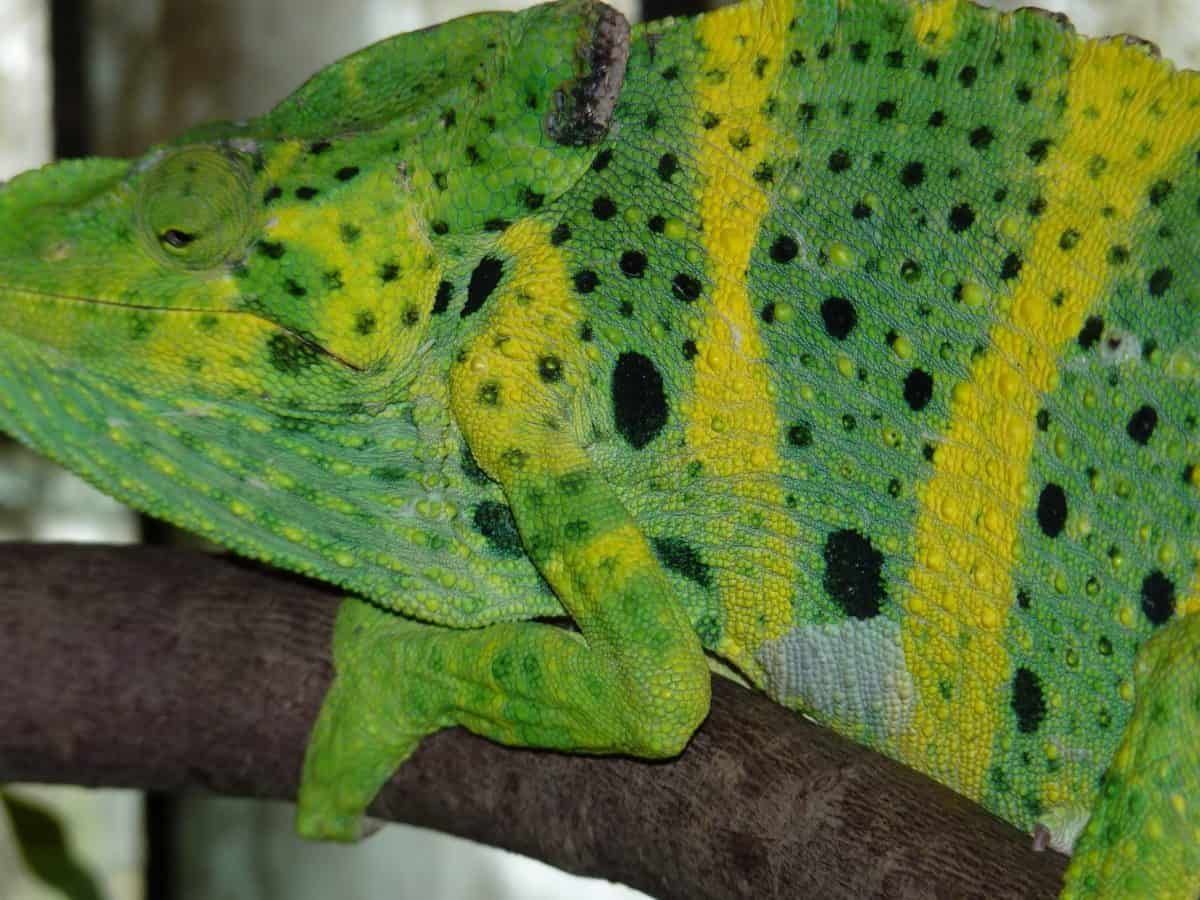 green lizard, nature, camouflage, reptile, chameleon, animal