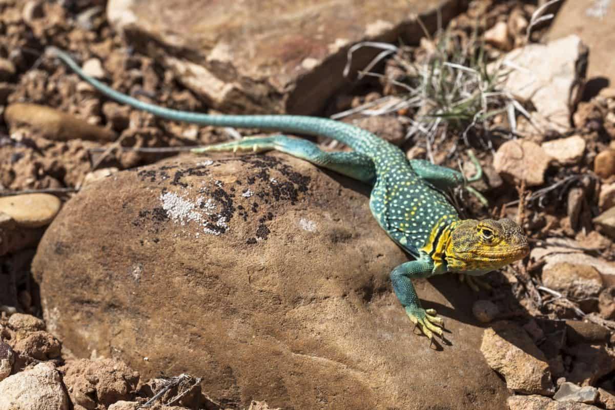 nature, green lizard, desert, reptile, wildlife, wild, animal, ground, outdoor