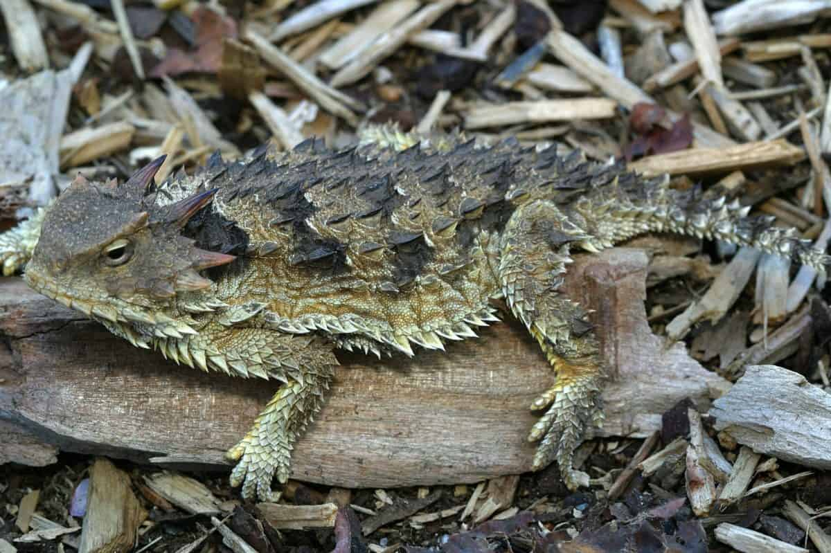 animal, biologie, faune, nature, iguane, reptile, sauvage, camouflage