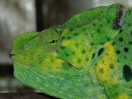 wildlife, animal, macro, nature, reptile, lizard, green chameleon, head