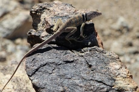 lizard, nature, desert, stone, reptile, animal, wildlife, wild, outdoor