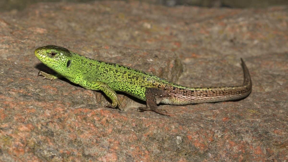 lézard, la faune, reptile, camouflage, nature, caméléon, oeil, dragon
