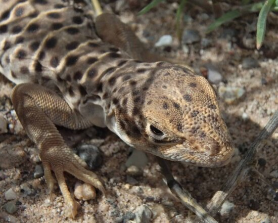 animal, camouflage, reptile, wild, wildlife, nature, lizard