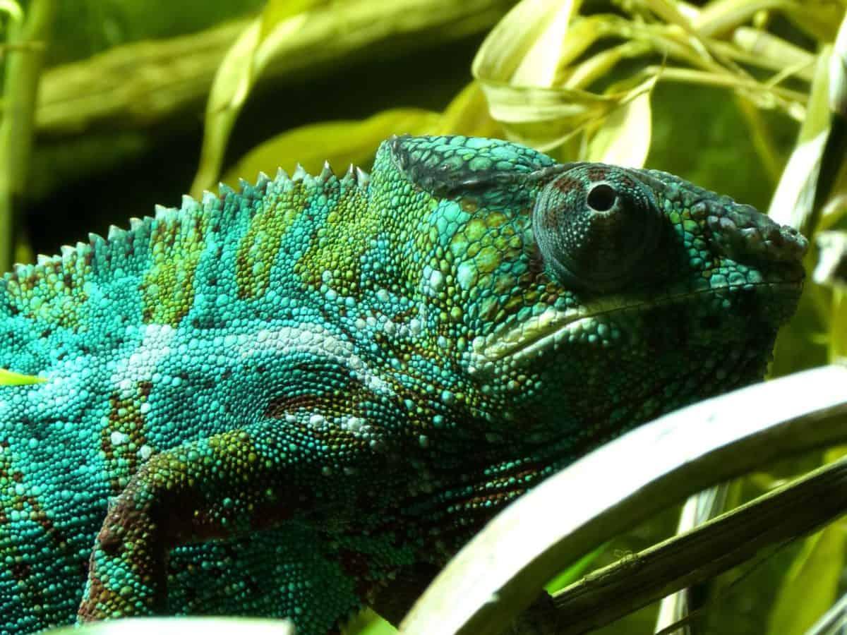 reptile, nature, lizard, camouflage, chameleon, person, wildlife, eye