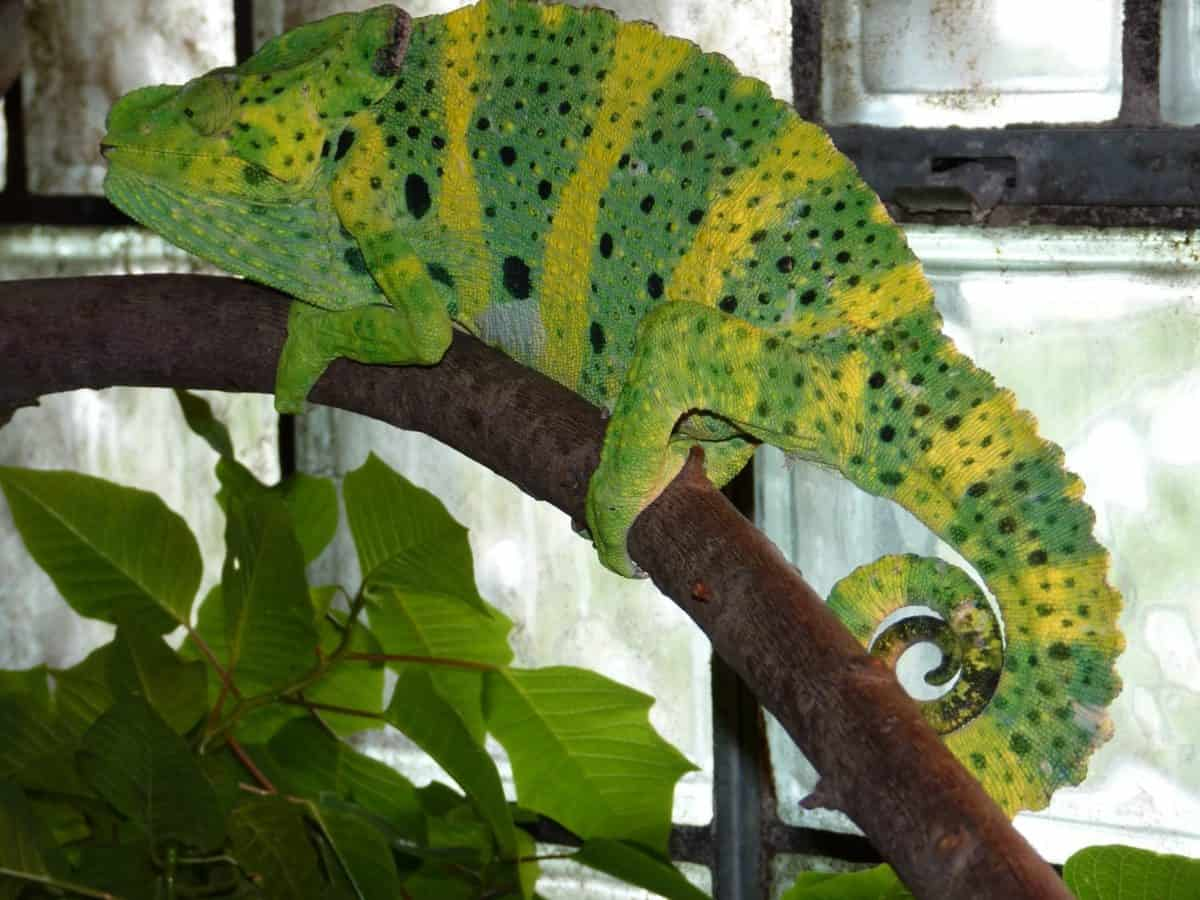 wildlife, tree, camouflage, nature, wood, lizard, chameleon, reptile