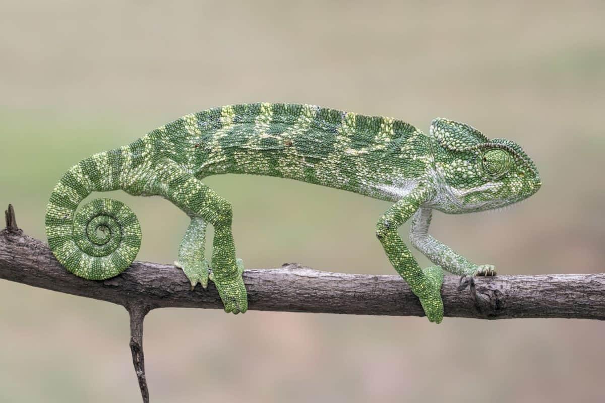 la faune, lézard, caméléon, arbre, animal, nature, reptiles