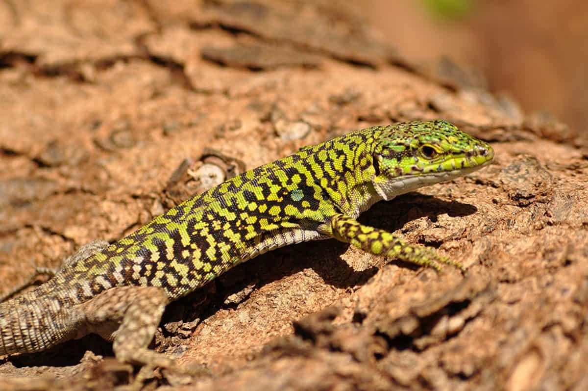 lézard, animal, sauvage, nature, faune, reptile, camouflage, coloré, au sol, en plein air
