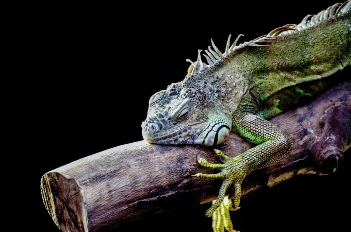 влечуго, гущер, дивата природа, маскировка, природата, животните, игуана, дракон