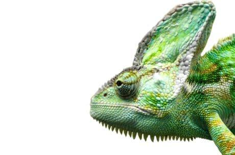 Reptil, Echse, Wildtiere, Tarnung, Chamäleon, Natur, Wirbeltier, Tier