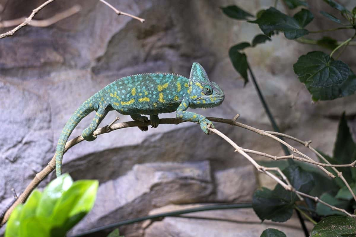 nature, lizard, wildlife, reptile, chameleon, camouflage, eye