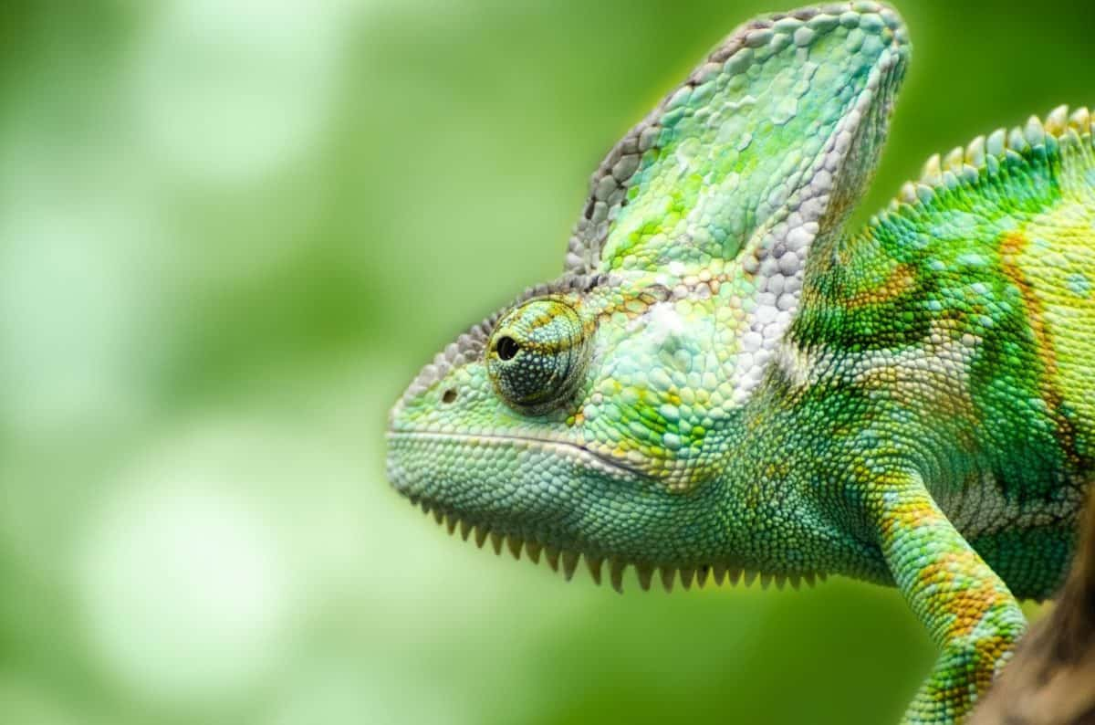 wildlife, lizard, camouflage, animal, reptile, chameleon, nature, person