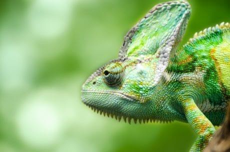 vilde dyr, firben, camouflage, dyr, krybdyr, kamæleon, natur, person