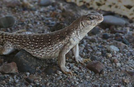 Lagarto, fauna, naturaleza, reptil, tierra, salvaje, marrón