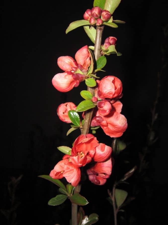 Blume, Blatt, Garten, Zweig, dunkel, Nacht, Flora, Natur, Makro, Kraut