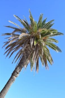 palm tree, nature, coconut, sky, plant, blue sky