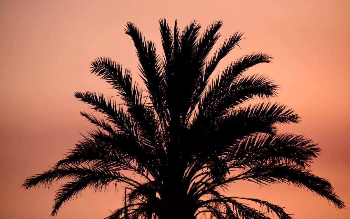 coco, puesta de sol, silhouette, naturaleza, árbol, playa, verano, Palma, planta