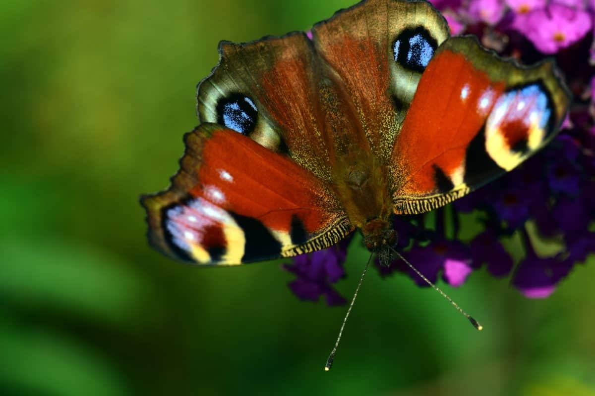 animal, nature, wildlife, invertebrate, insect, butterfly