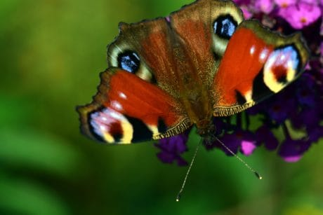 animal, naturaleza, fauna, mariposas, insectos, invertebrados,
