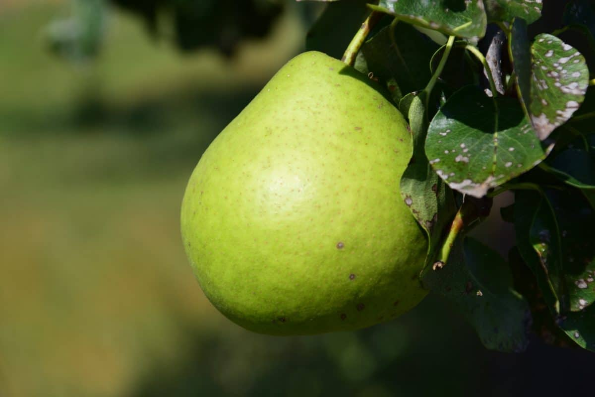 food, orchard, nature, fruit, green leaf, pear, diet, nutrition