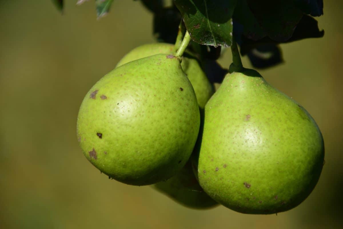 nourriture, nature, verger, macro, fruit, feuille, poire, régime alimentaire