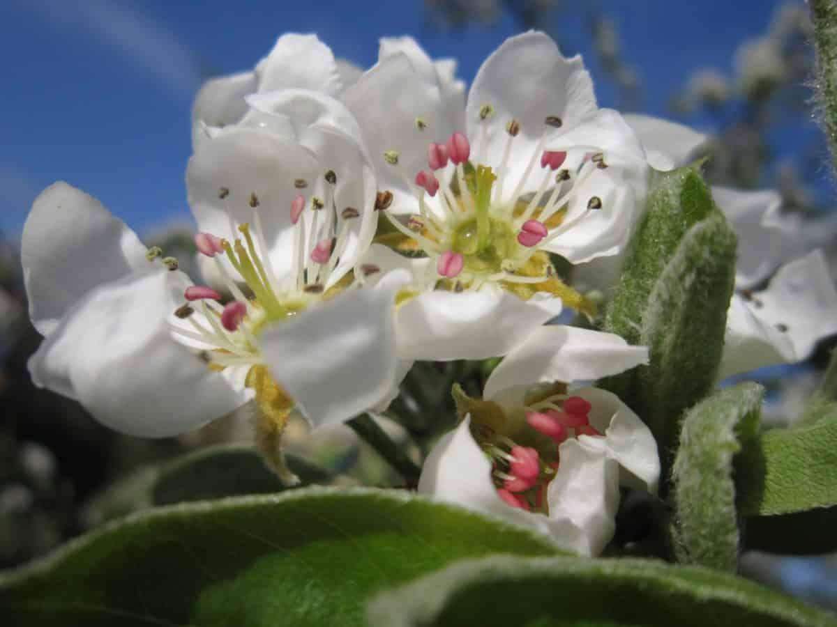 garden, nature, apple tree, petal, branch, flora, flower, green leaf