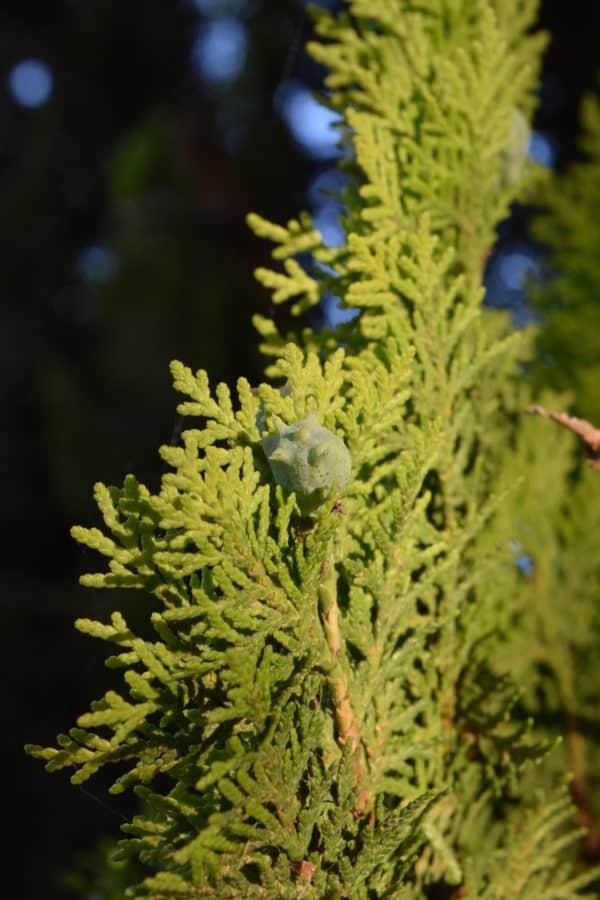 Imagen gratis rbol de hoja perenne con feras rama for Arboles ornamentales de hoja perenne