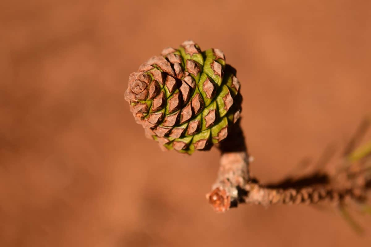 wood, forest, fir tree, nature, seed, conifer, macro, detail, outdoor