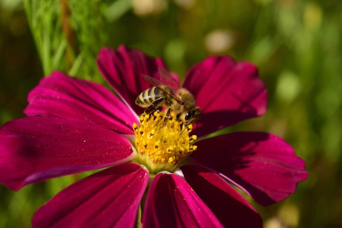 лято, природа, пчелите, макрос, плодник, прашец, насекоми, цветя, Градина, венчелистче