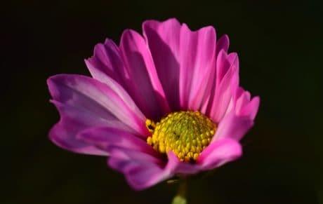 雌しべ、闇、花、自然、植物、花弁、ピンク、花、植物、花