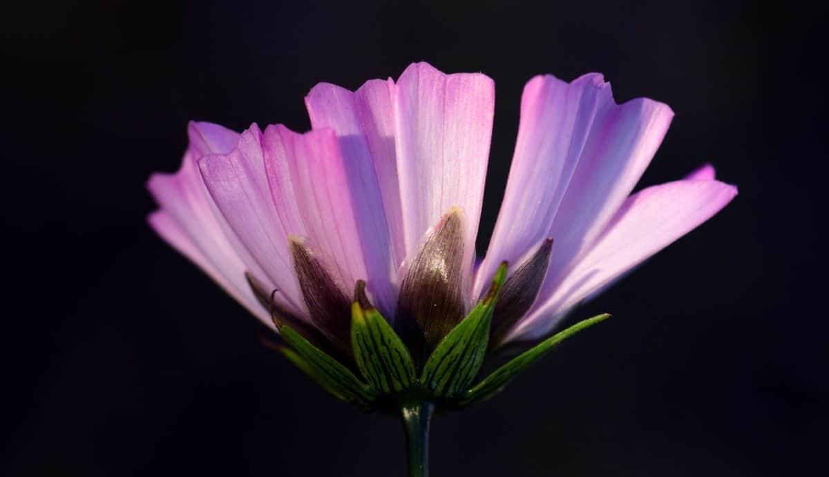 Natur, Blume, Dunkelheit, Makro, Blütenblatt, rosa, Pflanze, Blüte, Pflanzen, Garten