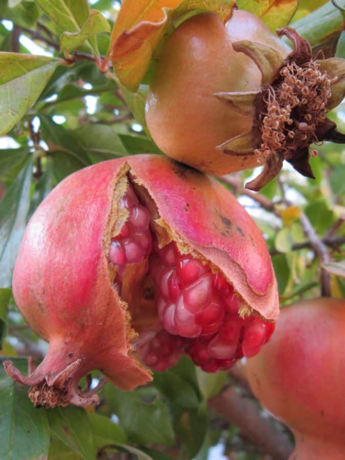 leaf, fruit, tree, food, orchard, garden, flora, nature, pomegranate